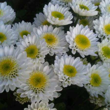 Bunga Krisan Ampuh Kendalikan Hama 4