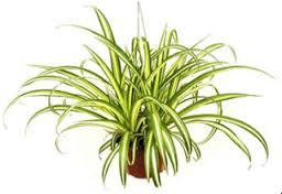 Lili Paris atau Clorophytum comosum