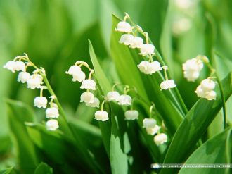 Lily of the valley dari Eropa cantik
