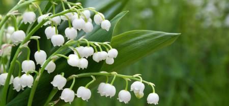 Lily of the valley dari Eropa