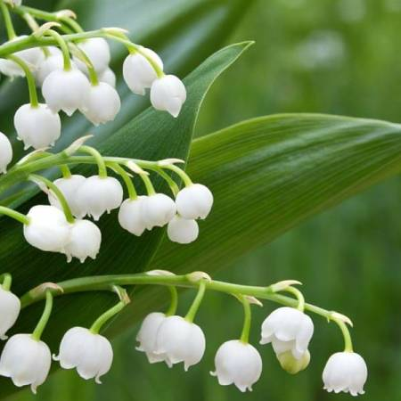 Lily of the valley dari Eropa