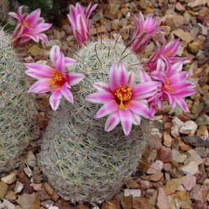 kaktus cantik jenis Pincushion (kaktus bantalan) 3