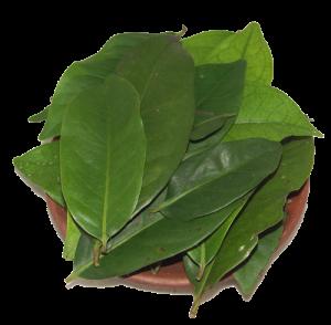 Tanaman Obat Herbal Untuk Asam Urat 6