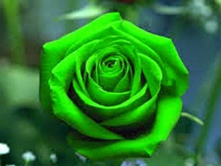 Kelompok besar buga mawar taman