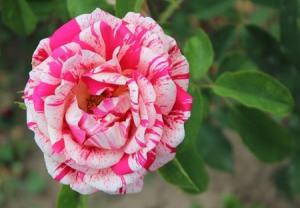Bunga Mawar Cantik tapi Berduri 5