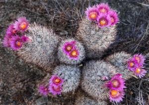 kaktus cantik jenis Pincushion (kaktus bantalan) 5