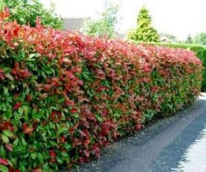 Mengenal yang sedang naik daun, Pucuk Merah 6