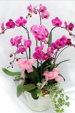 bunga anggrek caantik nan elegan