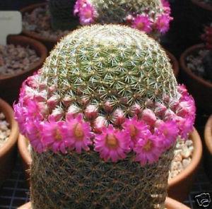 kaktus cantik jenis Pincushion (kaktus bantalan) 7