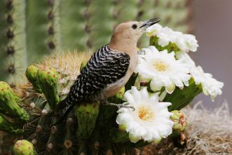 saguaro-cactus-blossom-white-flowers-images