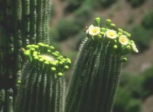 saguaro19020