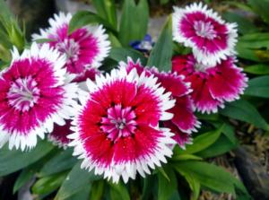 Pesona Warna Cantik Bunga Anyelir 6