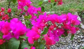 Bunga bougenville dan cara membudidayakannya