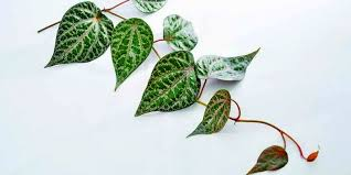daun sirih merah 1