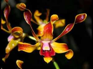 bunga anggrek cantik nan elegan 9
