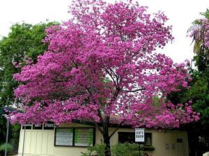 tanaman sakura atau tabebuia