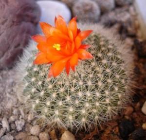 tanaman-hias-ball-cactus