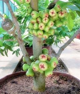 tanaman buah dalam pot jambu