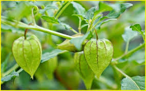 tanaman obat ciplukan