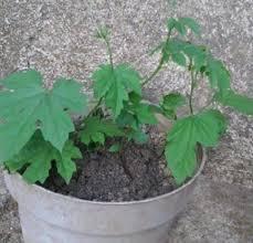 tanaman pare