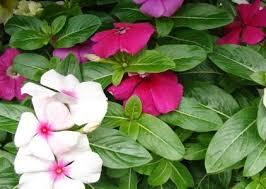 tanaman herbal obat kanker 1