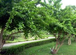 bahaya dan manfaat buah maja