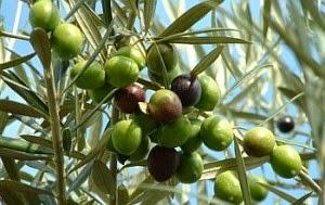 Mencegah Berbagai Penyakit Dengan Minyak Zaitun 5