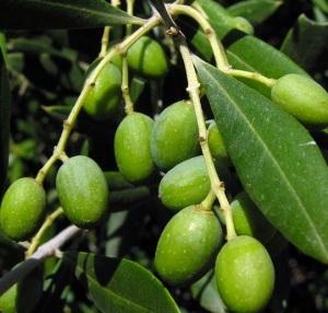Mencegah Berbagai Penyakit Dengan Minyak Zaitun 2