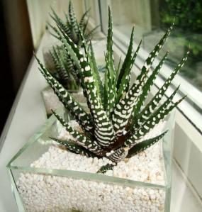 Loreng Unik si Kaktus Zebra (Haworthias ) 3