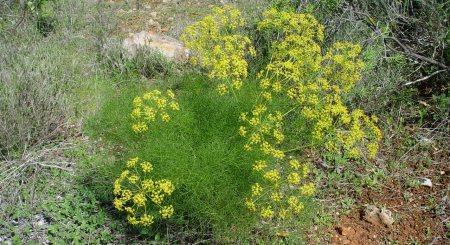 33 manfaat tanaman adas Foeniculum_vulgare
