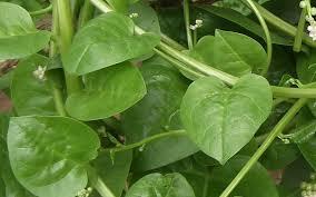manfaat daun binahong, khasiat