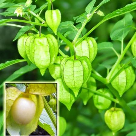 manfaat dan kandungan buah ciplukan manis