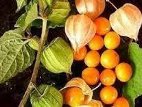 manfaat dan kandungan buah manis