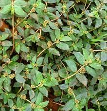 tanaman liar sebagai obat herbal