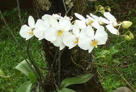 indahnya manfaat bunga anggrek