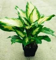 manfaat tanaman hias sri rejeki, kuning