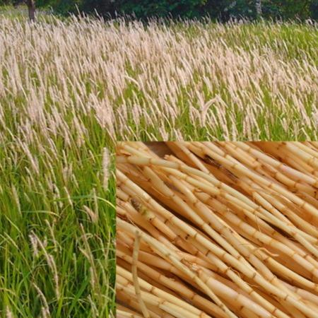 khasiat akar ilalang bagi tubuh