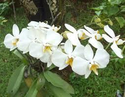 beragam manfaat bunga anggrek