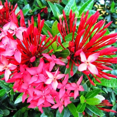 bunga asoka cantik