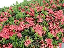 bunga asoka sebagai pagar hidup