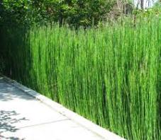 mengenal tanaman bambu air, satu