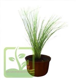 mengenal tanaman bambu air,dua