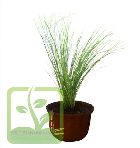 tanaman bambu air