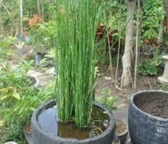 budidaya tanaman bambu air, air