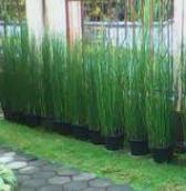 manfaat tanaman bambu air, satu
