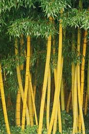 pagar bambu kuning