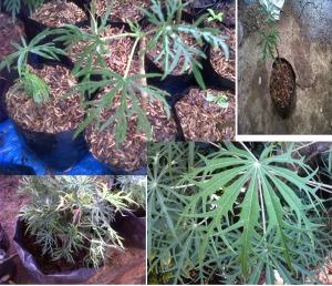 Pohon Betadine untuk obat