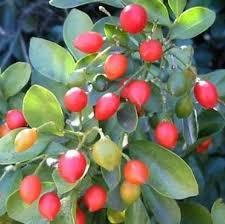 teknik budidaya tanaman hias kemuning, buah