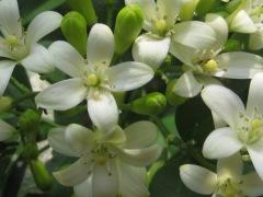 manfaat bunga kemuning