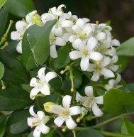 teknik budidaya tanaman hias kemuning, bunga